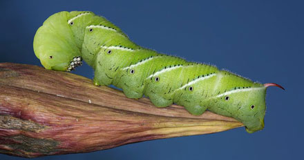 UP THE CHAIN Tobacco hornworms that eat nanoparticle-tainted tobacco leaves concentrate the chemicals in their guts.