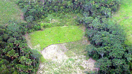 GOODBYE FOREST A bright green coca plot grows in Colombia where once only trees stood.