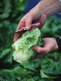 فوائد الخضراوات والفواكة lettuce.jpg