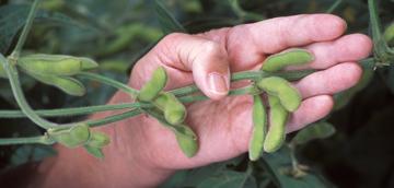 8301NOTW8_soybean