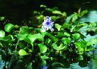 8314NOTW3_hyacinth.tifcxd