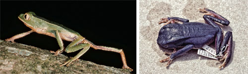 A drastic change in color is evident in this small tree frog, shown before (left) and after it was fixed with formalin and stored in 70% ethanol.