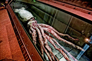 The Smithsonian's 24-foot giant female squid is preserved in dilute formaldehyde and stored in a 3M hydrofluoroether fluid.