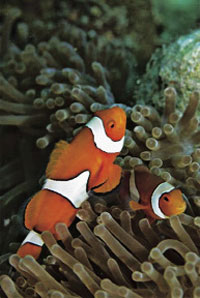 Losing Nemo Acidified seawater disrupts the homing ability of orange clownfish.
