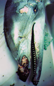 Lesions: In 1987, hundreds of dolphins infected with morbillivirus washed ashore along the eastern U.S. coast.