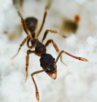 Garden: While ants carefully tend their symbiotic-fungus food crop, a bacterial